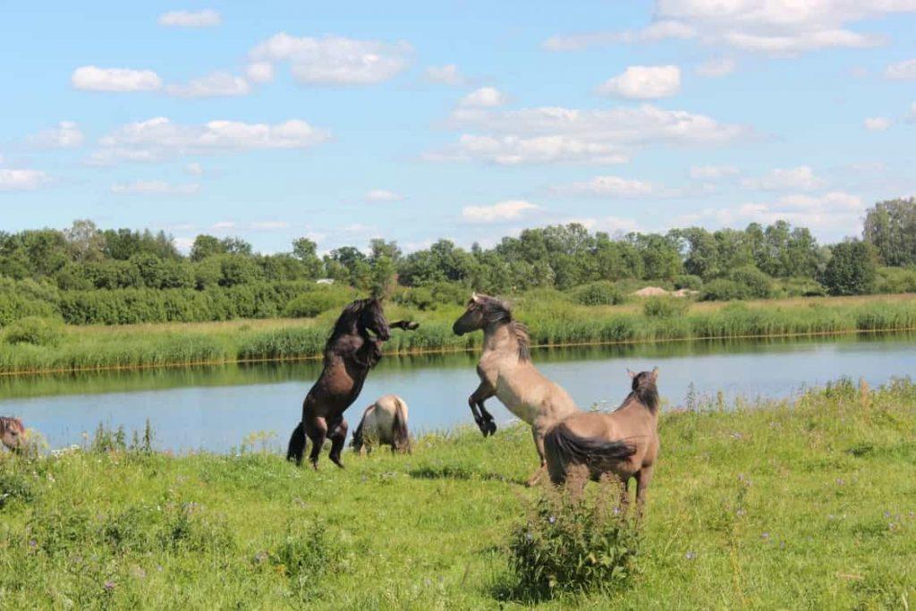 Дикие лошади на пойменных лугах Лиелупе.