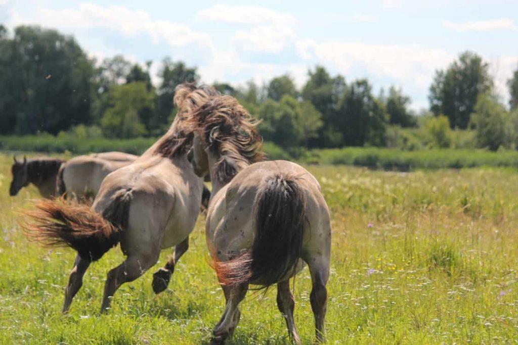 Дикие лошади на пойменных лугах Лиелупе