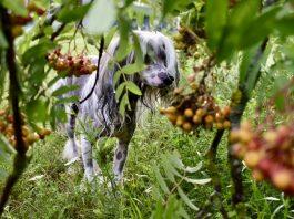 Китайская хохлатая собака Кузя