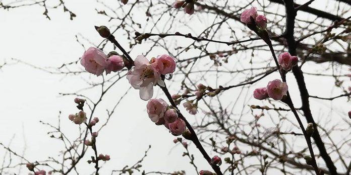 Сакура в рижском парке Победы. 25 декабря 2019 года. Фото: Кришьянис Гаикис и Виктория Трофимова