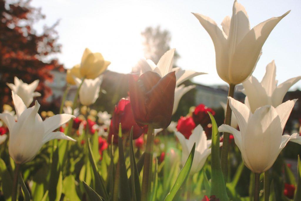 Цветы в Даугавпилсе. 26 мая 2020 года. Фото: Настя Гавриленко