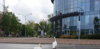 Лебединая семья в Даугавпилсе. 25 мая 2020 года. Фото: Елена Яунземе