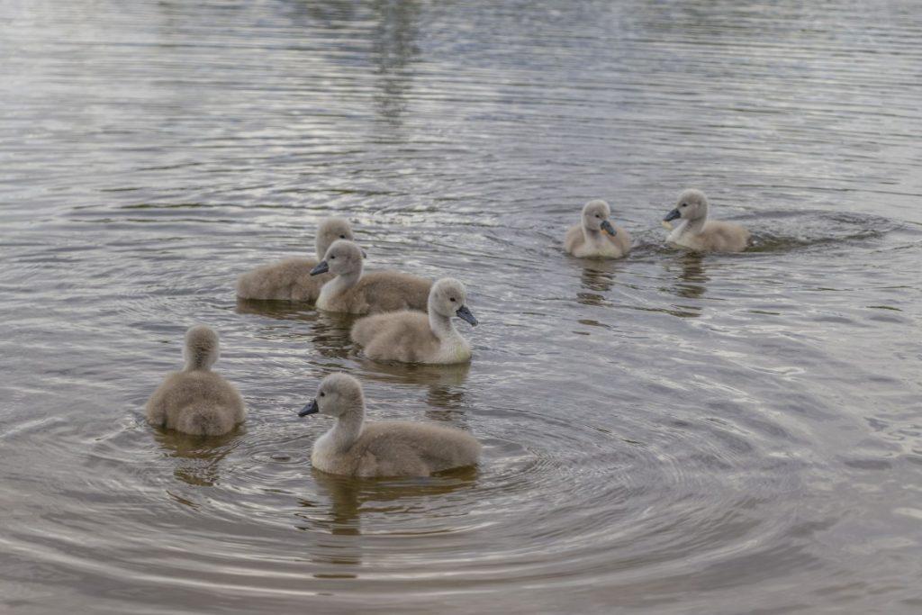 Лебединая семья на озере Губище в Даугавпилсе. 19 мая 2020 года. Фото: Евгений Ратков