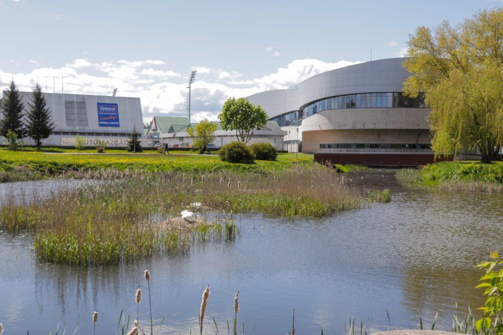 Лебединая семья в пруду у Олимпийского центра в Даугавпилсе. 20 мая 2020 года. Фото: Евгений Ратков