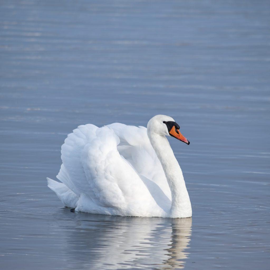 Лебедь-шипун. Фото: Витольд Рудзинский