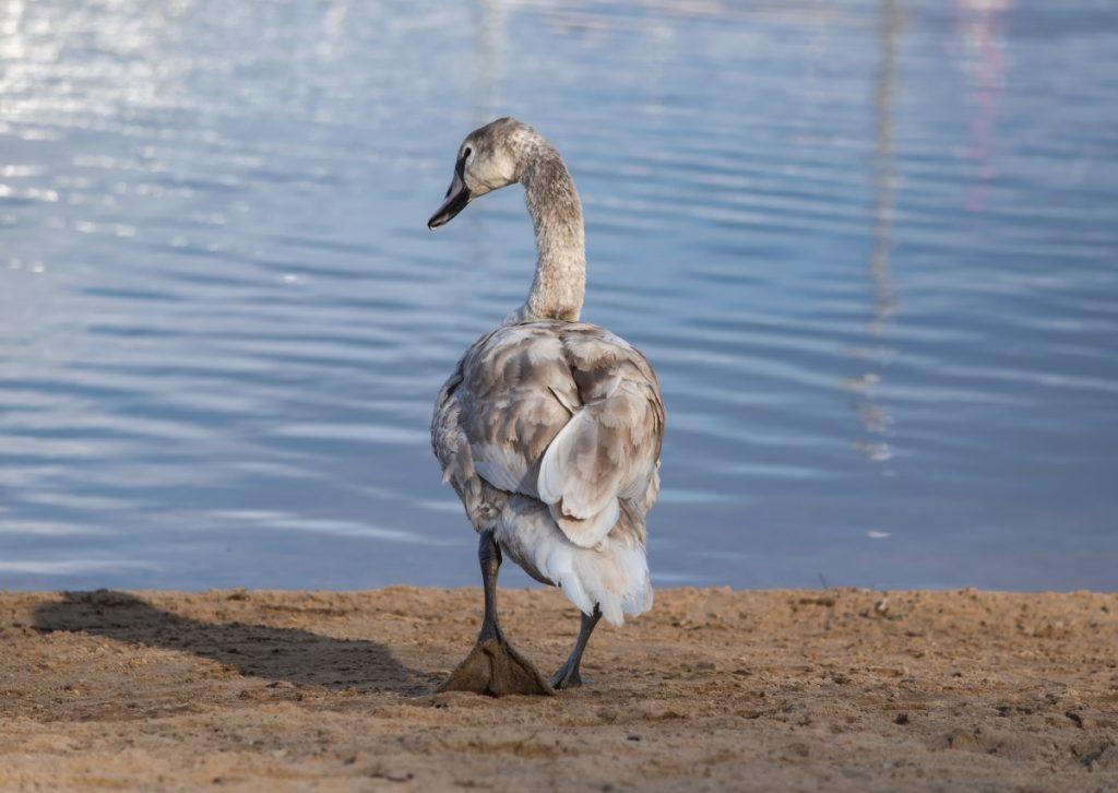 Молодой лебедь. Фото: Витольд Рудзинский