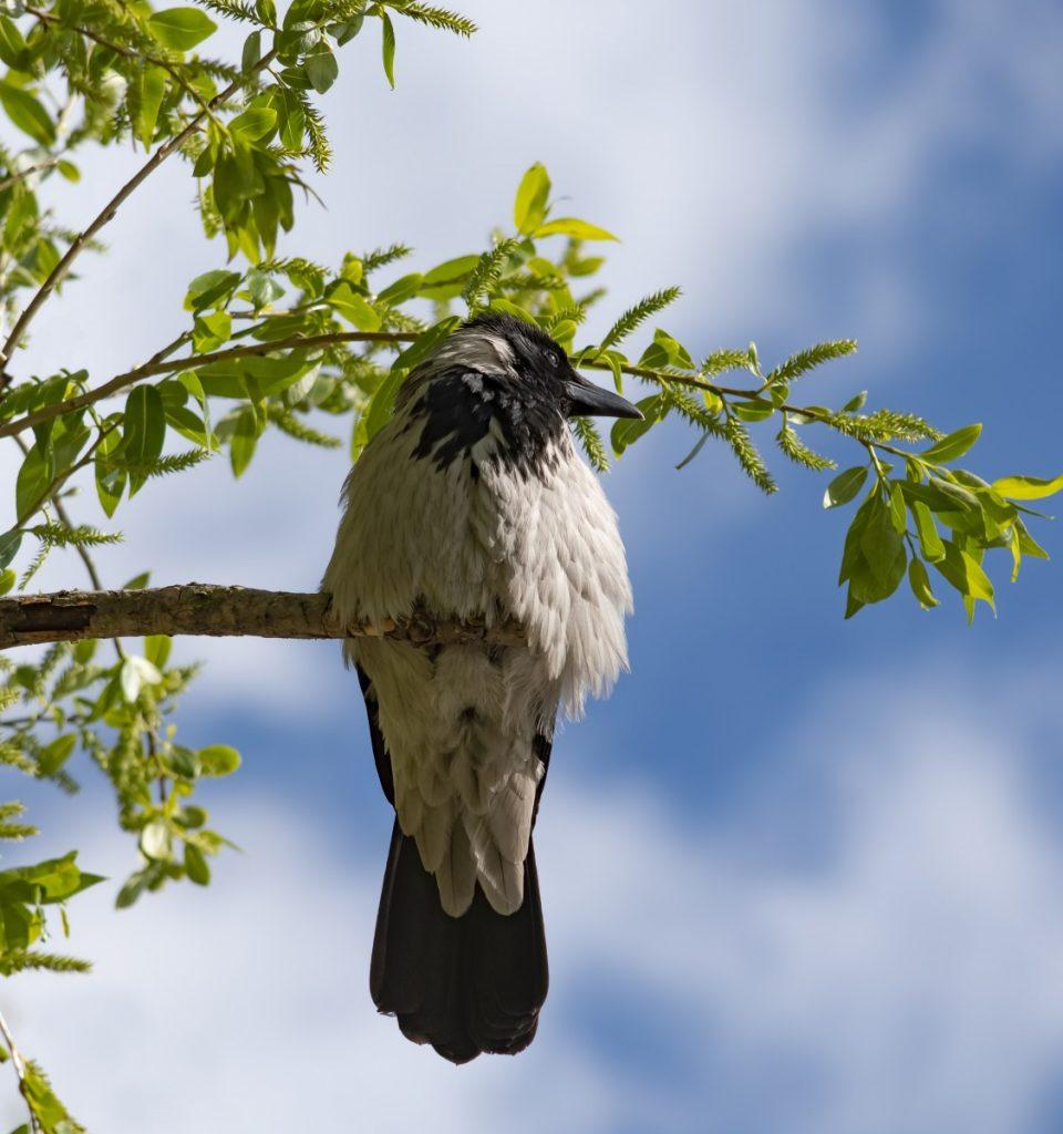 Ворона. Фото: Витольд Рудзинский
