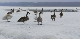 Лебеди на озере Большие Стропы в Даугавпилсе. 14 декабря 2020 года. Фото: Эдвин Мишковский