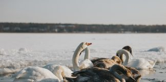 Лебеди на озере Большие Стропы. 16 января 2021 года. Фото: Ирина Маскаленко