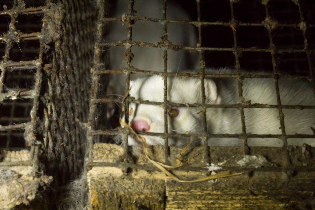 Звероферма Gauja AB. Фото: Dzīvnieku brīvība