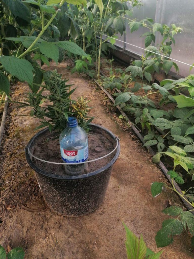 Во дворе дома в Нюкшенской волости мужчина выращивал 9 кустов марихуаны. Фото Госполиции