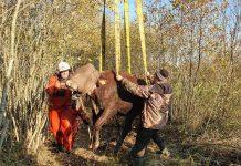 Операция по спасению коровы из канавы в Резекненском крае. 13 октяря 2021 года. Фото: ГПСС